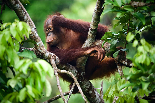 The thoughtful kid. The thoughtful kid. The cub of the orangutan sits on a branch of a tree and in meditations has propped up a head a hand. Borneo. Indonesia orangutan stock pictures, royalty-free photos & images
