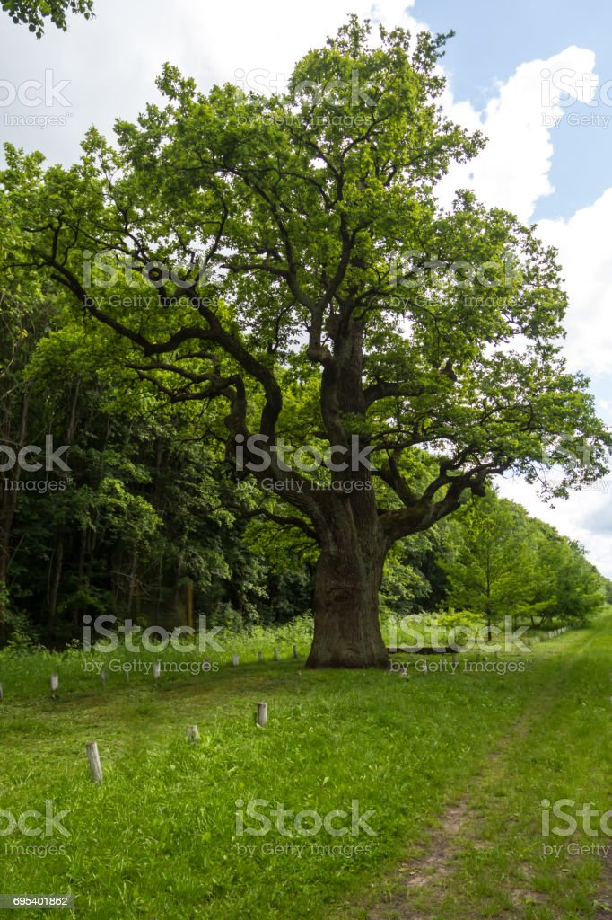 The thousand-year-old oak grows on the clearing stock photo