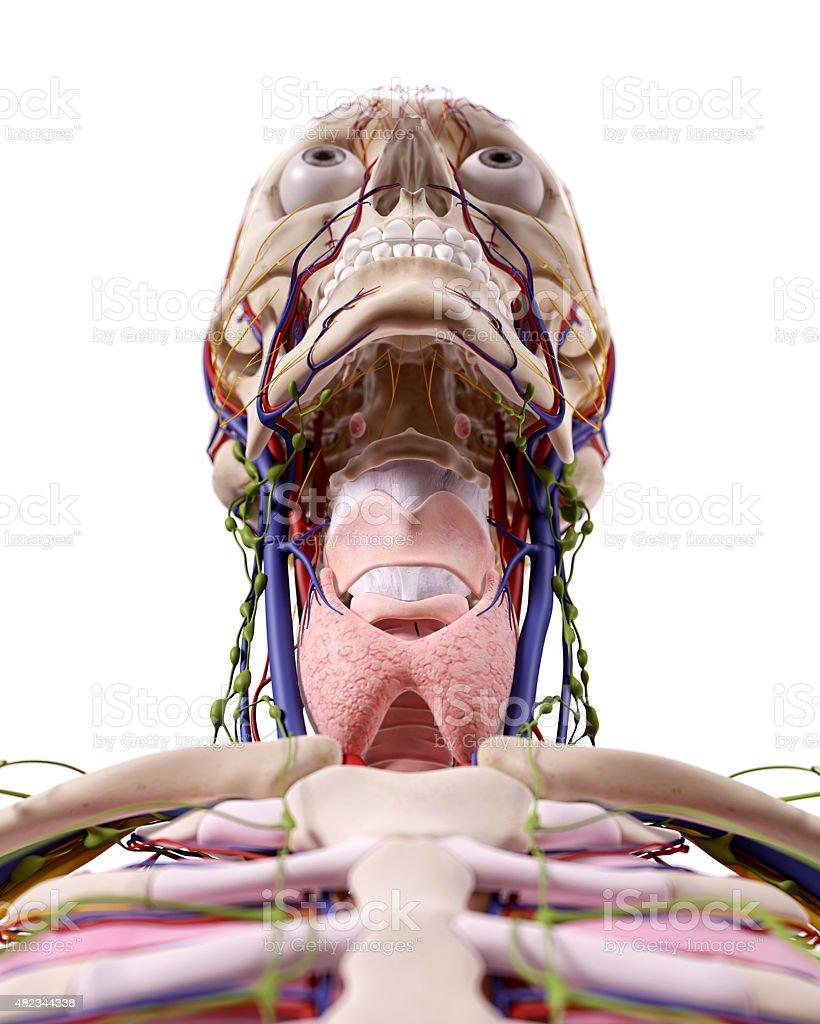 Der Hals Anatomie Stock-Fotografie und mehr Bilder von 2015 | iStock