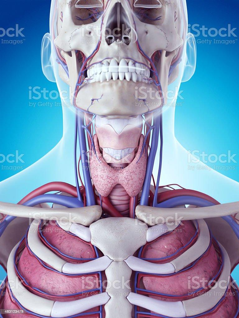 La glándula tiroides - foto de stock