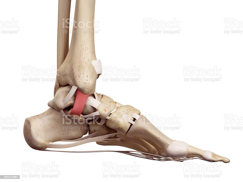 The tibiocalcaneal ligament stock photo