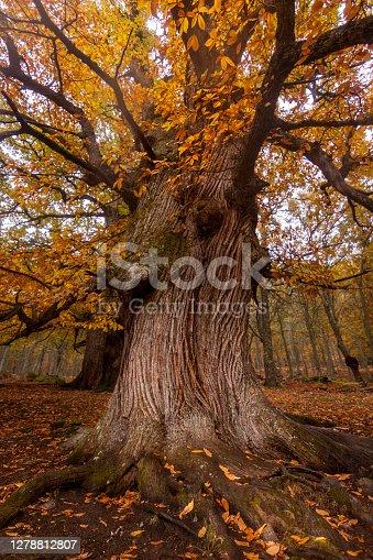 El Tiemblo chestnut natural reserve, in Avila, Castilla y Leon. Autumn with fallen leaves