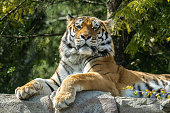 The tiger is the largest living cat species and a member of the genus Panthera.