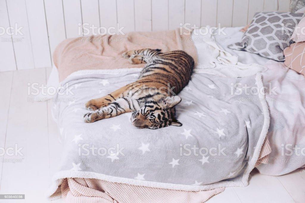 Der Tiger Ruht Auf Dem Bett Schöne Bettwäsche Stockfoto Und Mehr