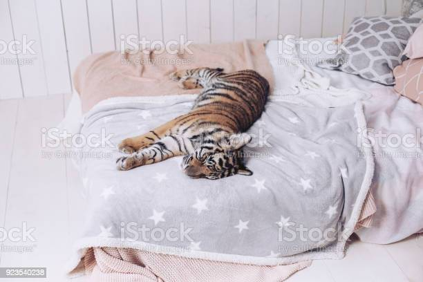 The tiger rests on the bed beautiful linens picture id923540238?b=1&k=6&m=923540238&s=612x612&h=h7mfbj  2ceqcajyoivk2lcfxgtydyzzbpiuuqbyn0m=
