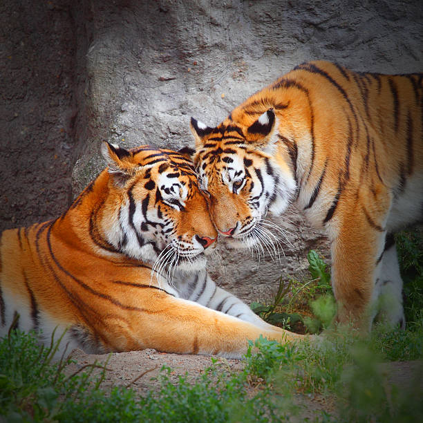 The Tigers. stock photo