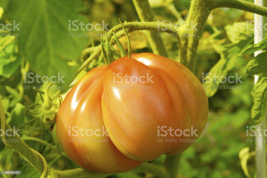 The tomato (Solanum lycopersicum) royalty-free stock photo