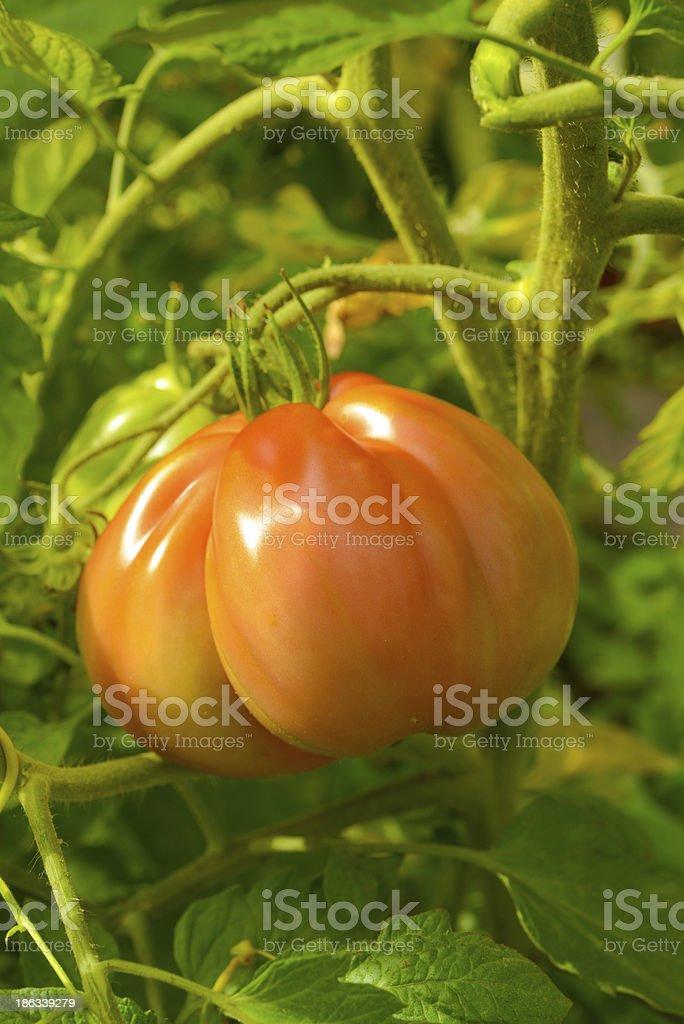 The tomato (Solanum lycopersicum) stock photo