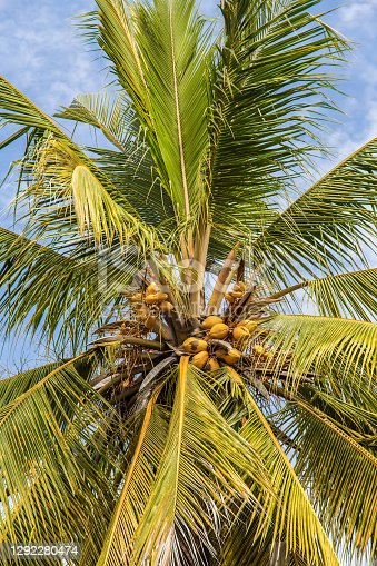 the top of a coconut palm tree on the background of a cloudy sky in sunny weather in Africa