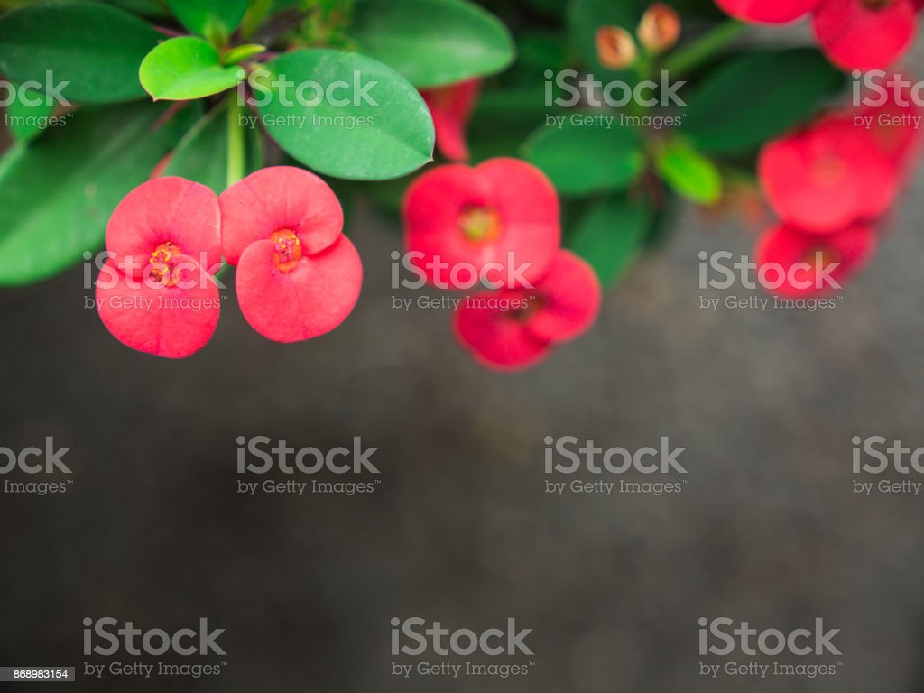 The Top View of Red Euphorbia milii Flowers Blooming stock photo
