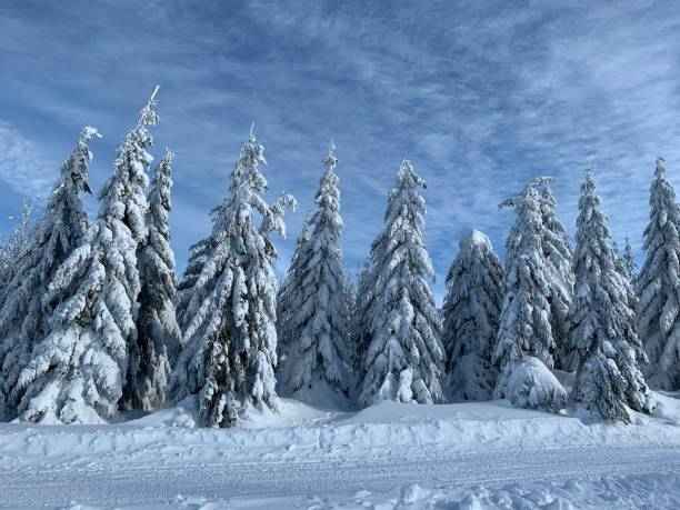 Cтоковое фото The tops of pine trees in snow background with copy space. Winter forest background with snow