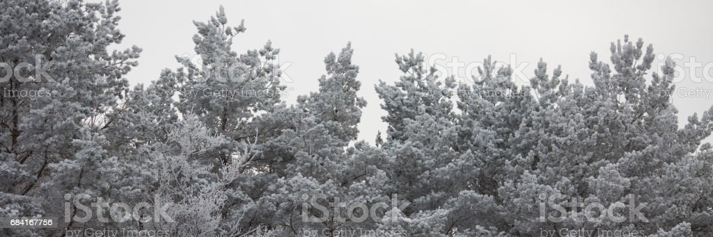 The tops of the pine trees covered with snow royalty-free stock photo