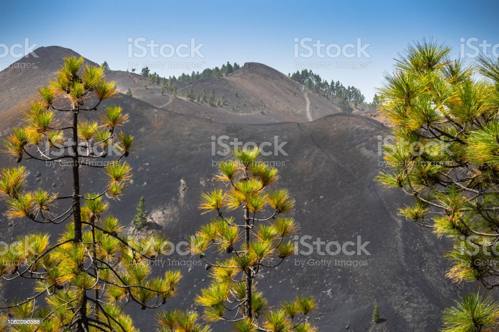 The tops of the pines high in the mountains against the backdrop of a volcanic crater stock photo