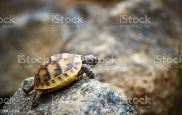 The tortoise creeps in the wild on the rocks in the summer picture id963114234?b=1&k=6&m=963114234&s=612x612&h=wnrx4klwstrzkr 6ef2el90fhzxzzaci2uhm5hmwcy4=