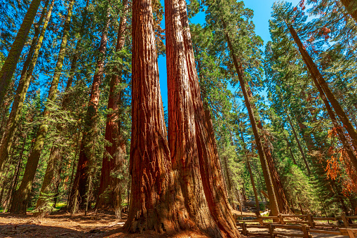 The Tough Twins sequoia trees in Sequoia National Park of California, United States of America.