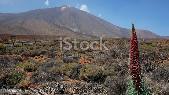 istock The tower of jewels flower known also as Echium wildpretii or Tajinaste Rojo with Pico del Teide in the background 1156286426