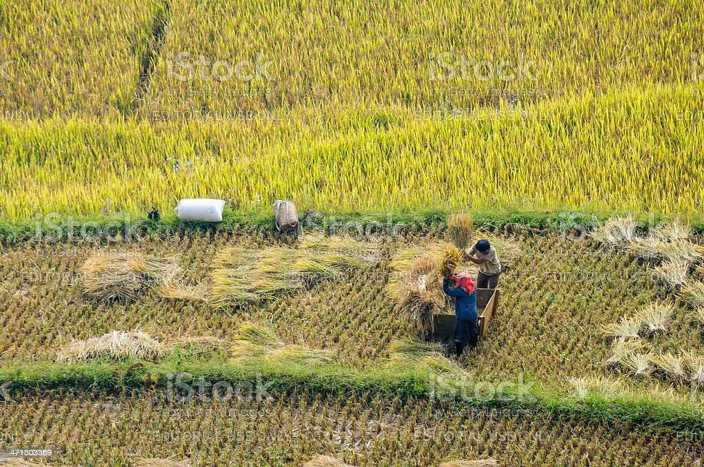 The traditional way of threshing grain in Northwest Vietnam, stock photo