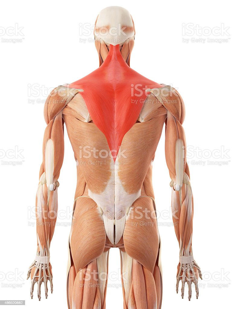 The Trapezius Stock Photo More Pictures Of 2015 Istock