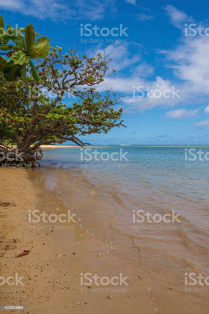 The tree by the sea in Anin Beach, Hawaii stock photo