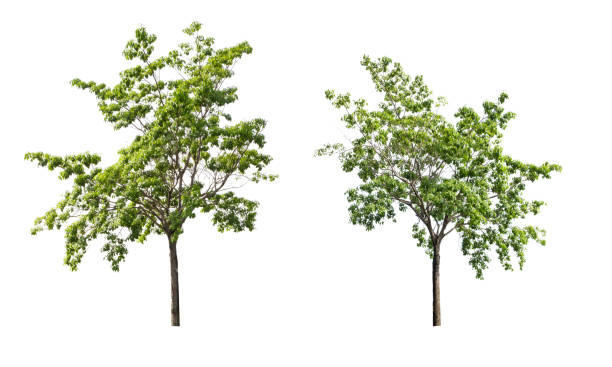 the tree collection,tree isolated against a white background - deciduous stock pictures, royalty-free photos & images