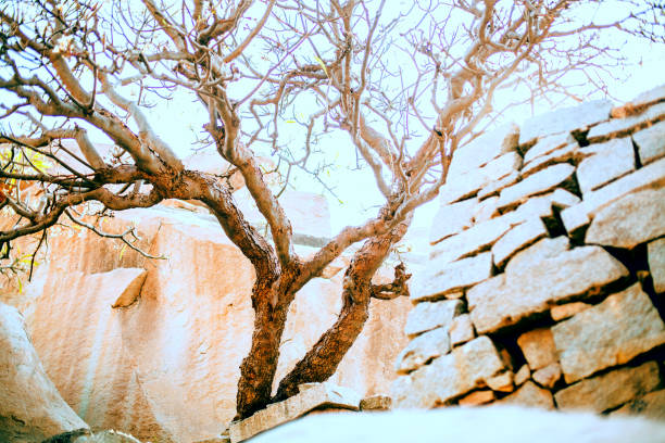 The tree is curved in the sun's rays. Hampi Holy Tree stock photo