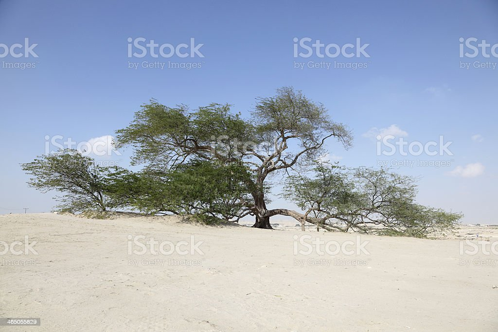 The Tree of Life in Bahrain stock photo