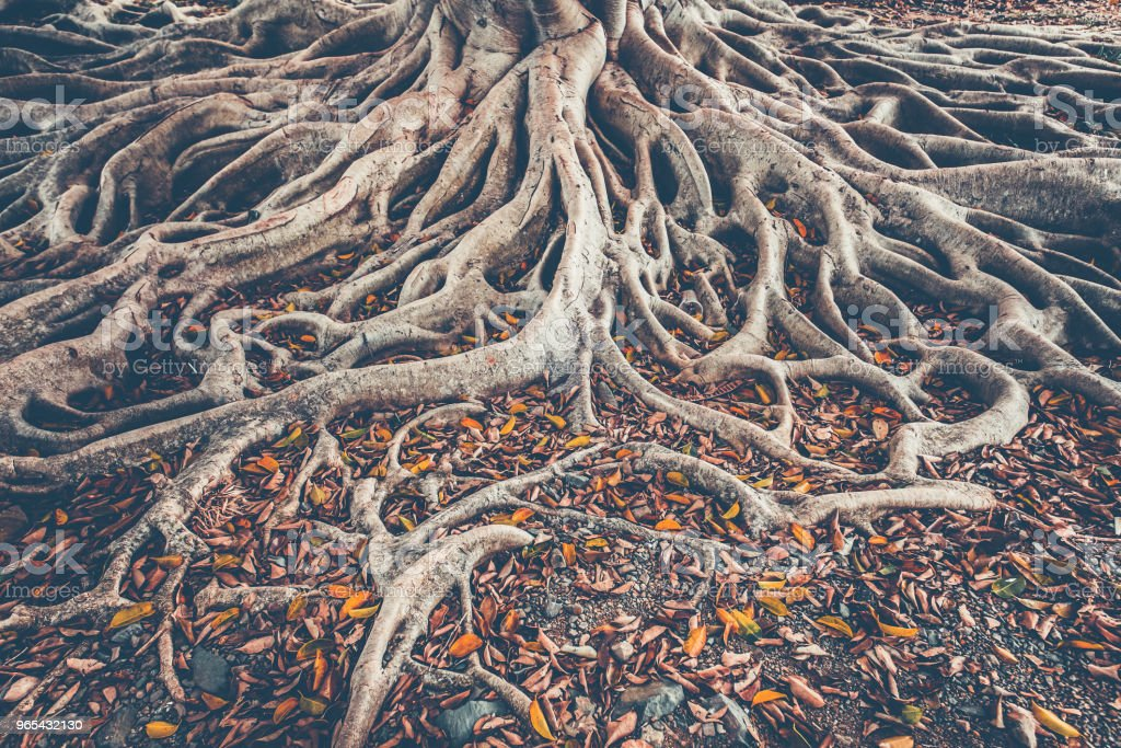 The tree root system on the ground. Background royalty-free stock photo