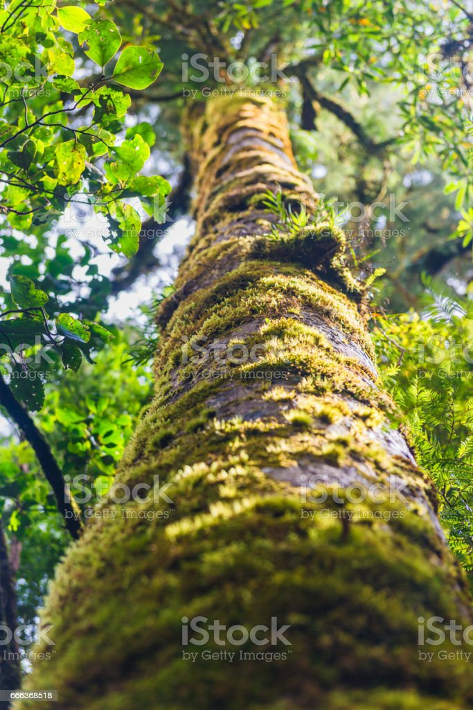 The trees in the humid tropical forest covered with moss stock photo