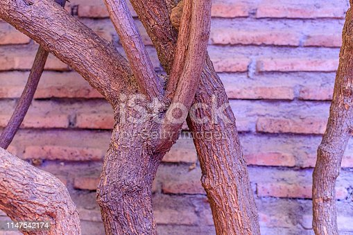 The trunk and branches of the tree are overlapped against the background of the wall in the park. Marakesh
