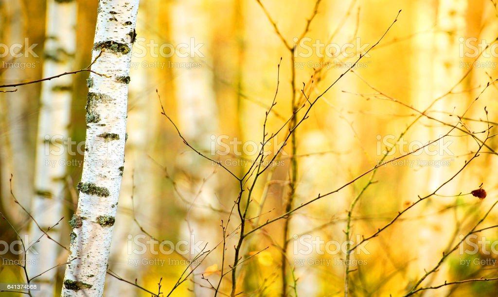 Магистрали березы в Осенний лес стоковое фото