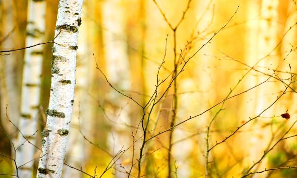 Cтоковое фото Магистрали березы в Осенний лес