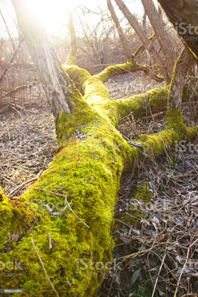 The trunk of a fallen tree is covered with green moss zbiór zdjęć royalty-free