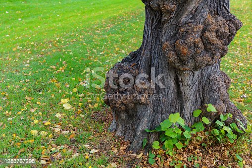 The trunk of an old tree with large growths. Fallen yellow foliage on green grass.