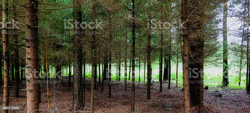 The trunks of the trees are in the forest in summer royalty-free stock photo