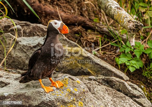 The Tufted Puffin (Fratercula cirrhata) also known as Crested Puffin, is a relatively abundant medium-sized pelagic seabird in the auk (Alcidae) family found throughout the North Pacific Ocean. Prince William Sound, Alaska.
