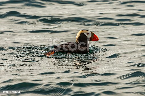 The Tufted Puffin (Fratercula cirrhata) also known as Crested Puffin, is a relatively abundant medium-sized pelagic seabird in the auk (Alcidae) family found throughout the North Pacific Ocean. Prince William Sound, Alaska. Swimming.