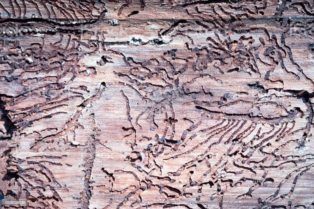 the tunnels of the bark beetle form a bizarre pattern under the bark stock photo
