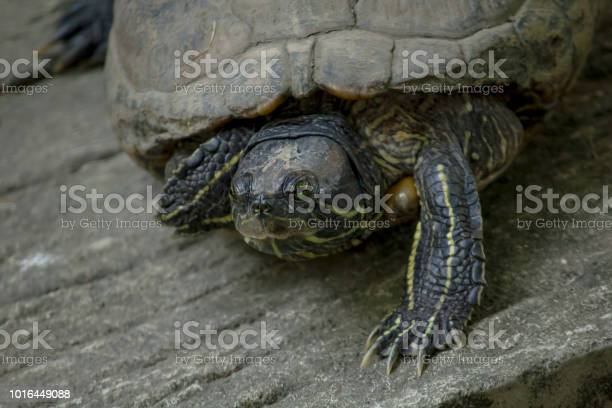 The turtle is on a cement floor picture id1016449088?b=1&k=6&m=1016449088&s=612x612&h=byyal2sldbom354twq55xne0wxtstznczta8mra3yxw=
