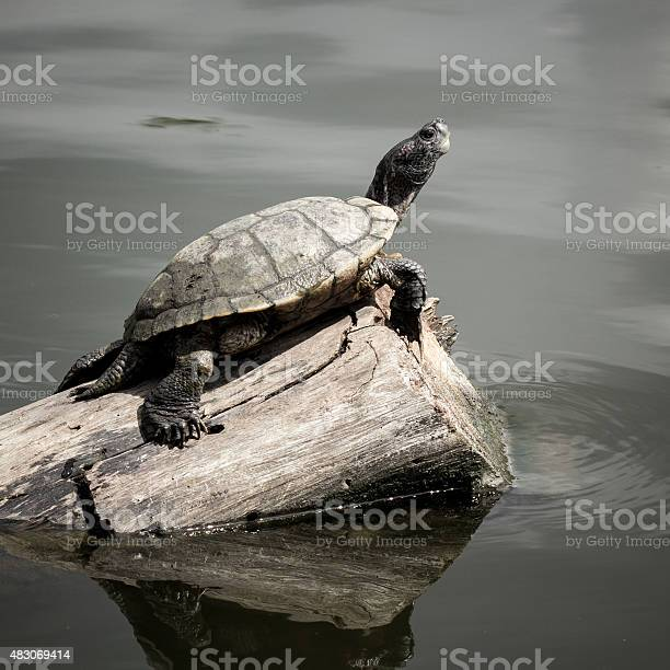 The turtle picture id483069414?b=1&k=6&m=483069414&s=612x612&h=win9uxwcslsy 5jqs3 lfvbdb1frhvqzvzpytjrwqno=