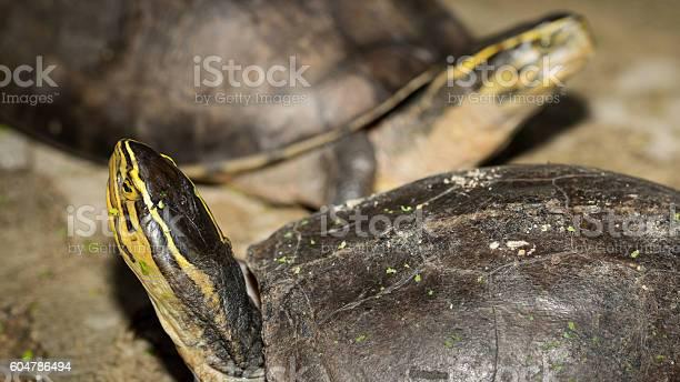 The turtle picture id604786494?b=1&k=6&m=604786494&s=612x612&h=1f3qbfrbx9qg4lk2vbj 5m04kq50dwkn57cuhhzk iq=