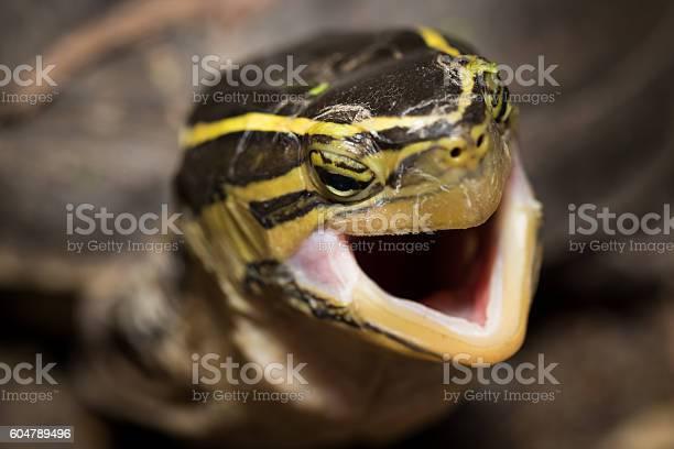 The turtle picture id604789496?b=1&k=6&m=604789496&s=612x612&h=lc4npu onmr9ld 0wiawtuzoxenm9tmzwv ayzgcuga=