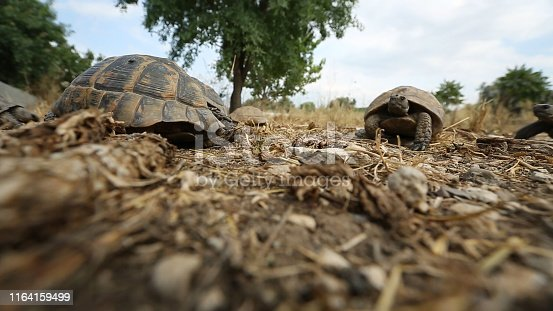 The turtles wanders in Aydin's rural. Aydin/Turkey 05/11/2015