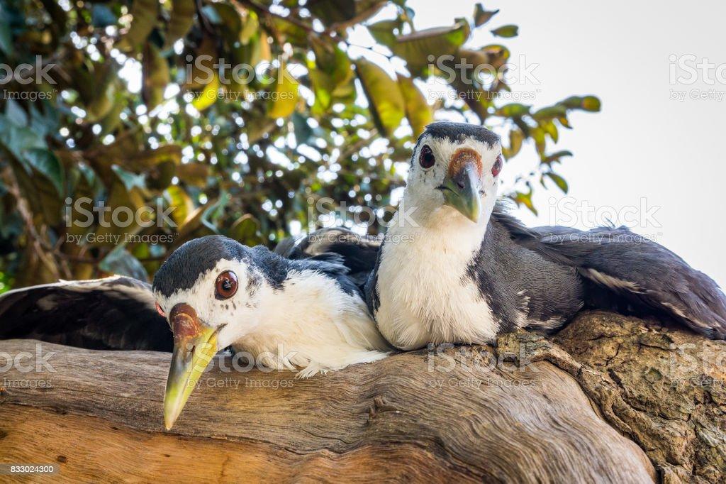 The two amaurornis phoenicurusn birds stock photo