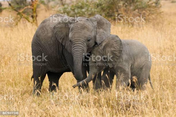 The two brothers elephants picture id847641146?b=1&k=6&m=847641146&s=612x612&h=3a4a3ndhvs91ssea0eq ceyuerxlebkdse4ugfkkv0m=