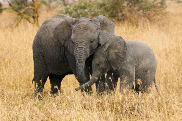 The two brothers elephants stock photo