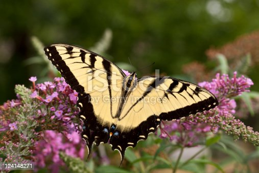 The two-tailed Tiger Swallowtail, Papilio multicaudata  butterfly in Central Park in August