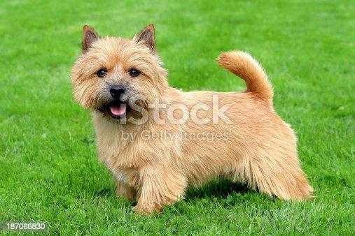 The portrait of Norwich Terrier in a garden