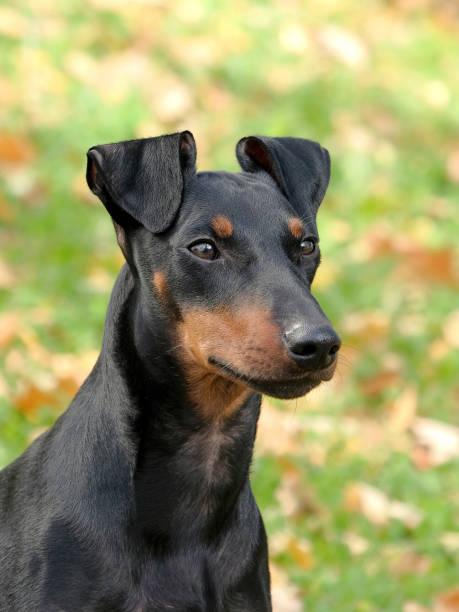 den typiska porträtt av manchester terrier - manchesterterrier bildbanksfoton och bilder