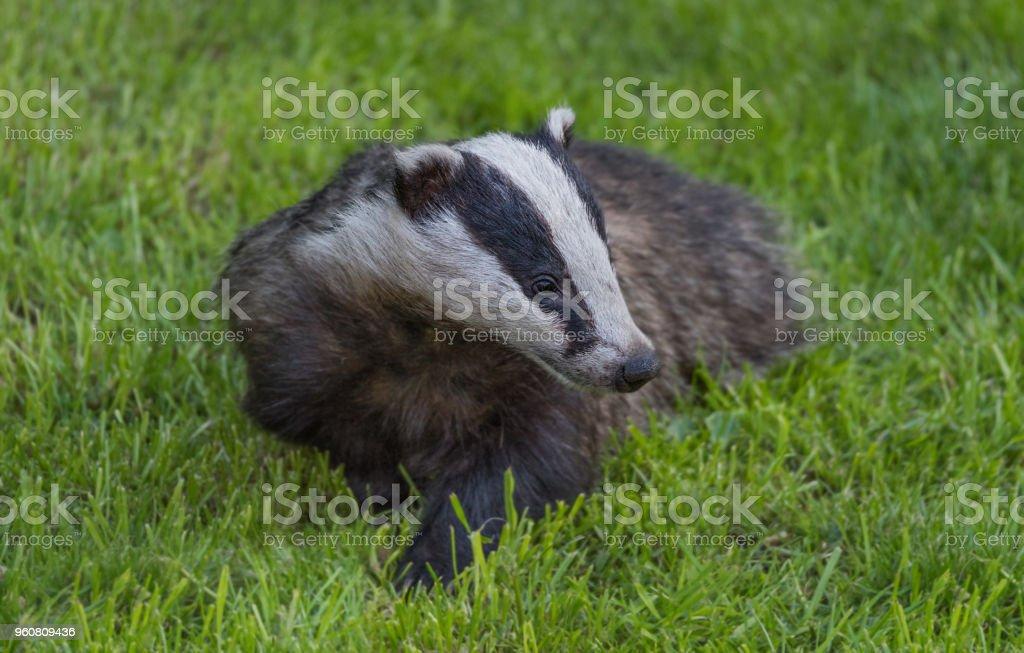The UK Badger. stock photo