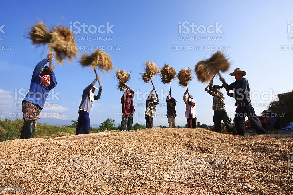 The unidentified farmers harvesting rice from terraced rice field stock photo
